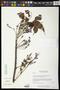Bursera ovalifolia (Schltdl.) Engl.