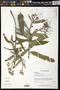 Quadrella lundellii (Standl.) Iltis & Cornejo