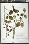 Pleradenophora tikalana (Lundell) A.L. Melo & Esser
