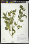 Croton roxanae Croizat