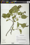 Croton flavescens Greenm.