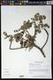 Amphipterygium adstringens (Schltdl.) Standl.