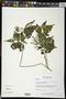Croton watsonii Standl.