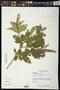 Combretum fruticosum (Loefl.) Stuntz