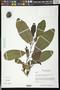 Annona macroprophyllata Donn. Sm.