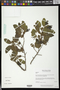 Annona squamosa L.
