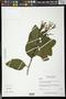 Pseuderanthemum carruthersii (Seem.) Guillaumin