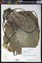 Nymphaea ampla (Salisb.) DC.