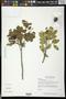 Melicoccus oliviformis Kunth