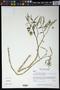 Physalis angulata L.