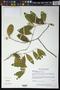 Pristimera celastroides (Kunth) A.C. Sm.