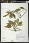 Byrsonima crassifolia (L.) Kunth