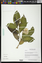 Tabernaemontana divaricata (L.) R. Br. ex Roem. & Schult.