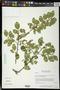 Colubrina elliptica (Sw.) Brizicky & W.L. Stern