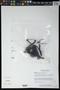 Bdallophytum americanum (R. Br.) Eichler ex Solms