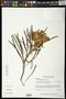 Astianthus viminalis (Kunth) Baill.