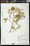 Quadrella odoratissima (Jacq.) Hutch.