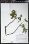 Ceiba aesculifolia (Kunth) Britten & Baker f.
