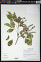 Esenbeckia berlandieri subsp. litoralis (Donn. Sm.) Kaastra