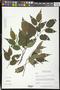Piper variifolium (Miq.) C. DC.