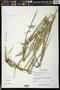 Megathyrsus maximus (Jacq.) B.K. Simon & S.W.L. Jacobs