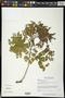 Apoplanesia paniculata C. Presl