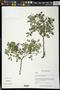 Lonchocarpus lanceolatus Benth.