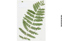 Image of Cinnamon Fern