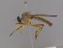Orophotus pilosus Scarbrough, 2004
