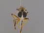 Orophotus pilosus Scarbrough, 2004