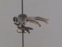 Ommatius pulverius Scarbrough, 1997