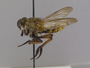 Astochia flava Scarbrough & Biglow, 2004