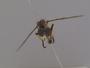 Pseudomerodontina alata Scarbrough & Hill, 2000