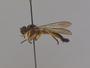 Senoprosopis sp.