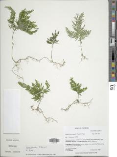 Selaginella anceps image