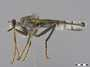 Microstylum sp.