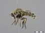 Acnephalomyia unidentified