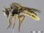 Acnephalomyia sp.
