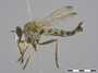 Synolcus acrobaptus (Wiedemann, 1828)