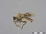 Anypodetus fascipennis Engel, 1924