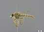 Daspletis setithoracicus Ricardo, 1925