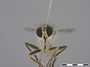 Microstylum unidentified
