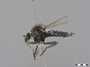 Neolophonotus sp.