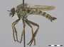 Tolmerus atricapillus Fallén, 1814