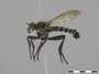 Lasiopogon cinctus (Fabricius, 1781)