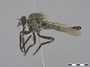 Machimus occidentalis (Hine, 1909)