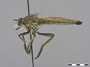 Philonicus albiceps Loew, 1849