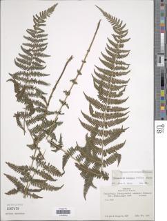 Image of Amauropelta scalaris