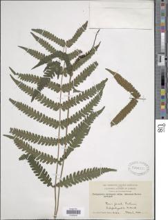Goniopteris tetragona image