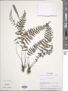 Image of Amauropelta cinerea